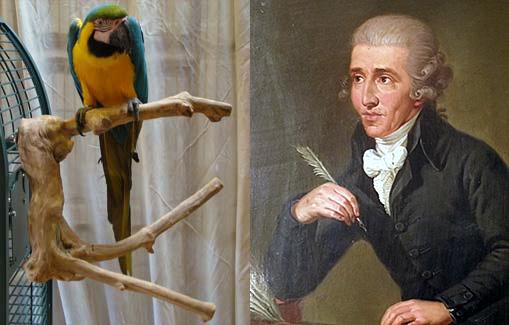 haydn-parrot